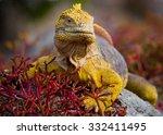 The Land Iguana On The Stone....