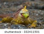 The Land Iguana Eating Prickly...