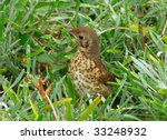 A cute young baby Song Thrush hiding in long grass. - stock photo