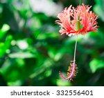 Close Up Flower Hibiscus...