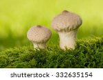 Two Common Puffballs Growing...