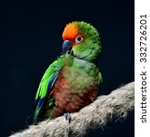 golden capped parakeet  | Shutterstock . vector #332726201