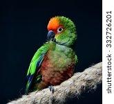 golden capped parakeet    Shutterstock . vector #332726201
