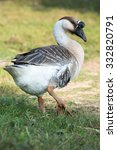 Grey Goose From Udornthani ...