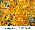 Golden Autumn Leaves Of A Birc...