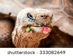 Galapagos Giant Tortoise Is Th...