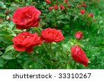 Stock photo roses bush background 33310267