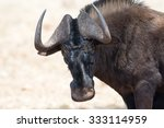 A Black Wildebeest Posing For ...