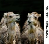 Two Funny Dromedaries Or Camel...