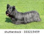 black skye terrier in the garden | Shutterstock . vector #333215459