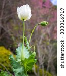 Small photo of poppy flower, also know as Opium plant, its seed can produce alkaloid substance which introducing morphine in post process.