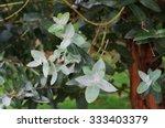 eucalyptus | Shutterstock . vector #333403379