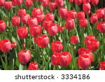 tulips in ottawa | Shutterstock . vector #3334186