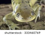 Small photo of Western tiger salamander (Ambystoma mavortium)