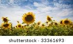 sunflower under a blue sky / summer - stock photo