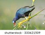 purple galinule  porphyrio...   Shutterstock . vector #333621509