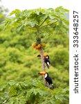 casal de tucanos no p   de mam  ...   Shutterstock . vector #333648257
