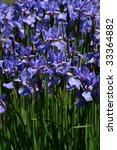 Blue Iris Siberian In Full...