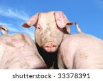 Cute young pig on a farm - stock photo