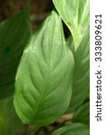 Small photo of Chinese evergreens' green leaf(Aglaonema modestum)