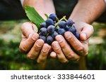 grapes harvest. farmers hands... | Shutterstock . vector #333844601