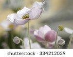 Anemone Flowers In Garden