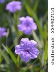 Small photo of Purple flowers in the garden ,Ruellia tuberosa (Acanthaceae)