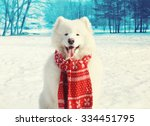 Happy White Samoyed Dog On Sno...