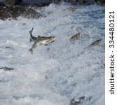 Jumping Salmon In A River At...