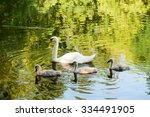 Swan And Its Babies. White Swa...