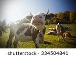 Cow On An Autumn Pasture