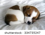 Stock photo sleeping jack russell puppy 334735247