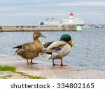Pair Of Mallard Ducks With...