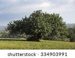 Carob Tree In Sicilian...