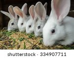 Stock photo line of domestic rabbits are eating grain and grass in farm hutch 334907711