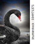 Swan Swan 1 Black Swan
