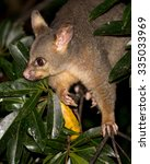 Brush Tailed Possum In A Tree