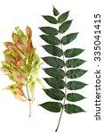 Small photo of Ailanthus Altissima Tree of Heaven leaf and Fruit isolated on white background