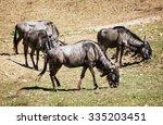 Blue Wildebeest  Connochaetes...