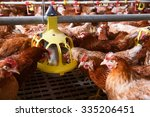 Farm Chicken In A Barn  Eating...