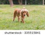 beautiful cocker spaniel dog at ... | Shutterstock . vector #335515841