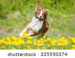 Stock photo australian shepherd dog running on the field with dandelions 335550374