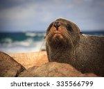 fur seal at the coast   new...