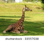 Young Giraffe Resting On The...