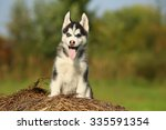 Puppy Husky With Different...