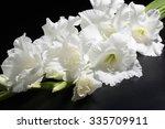 Gladiola  Gladiolus
