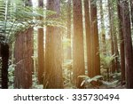 Sunlight In Redwood Trees Forest