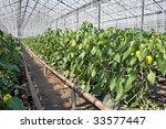 Pepper Plants Inside A...