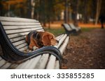 dog breed beagle walking in... | Shutterstock . vector #335855285
