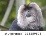 Lion Tailed Macaque In Toronto...